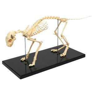 Realityworks Cat Skeleton