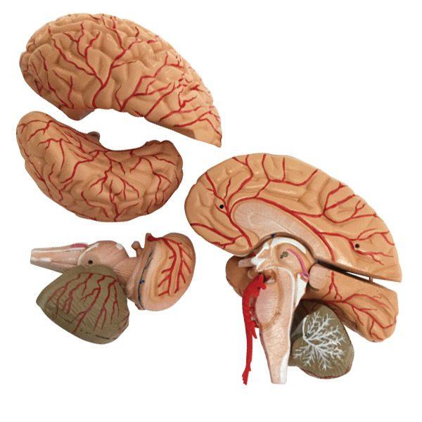 Brain and Cerebral Arteries Model