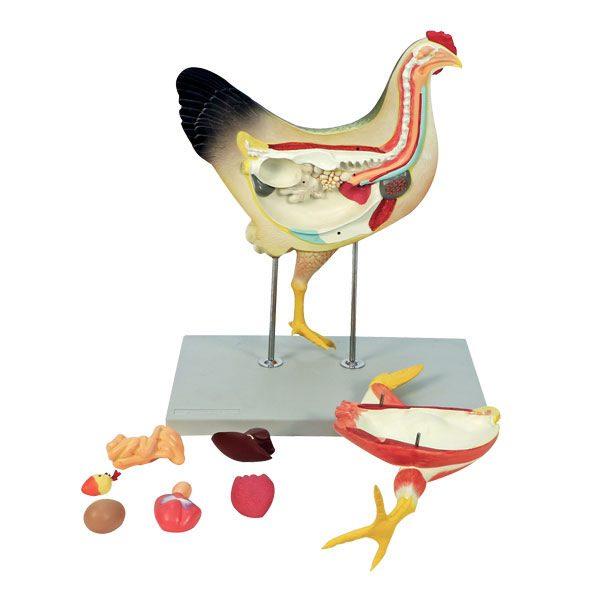 Chicken Model