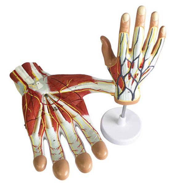 Human Hand Anatomy Model Set - Realityworks