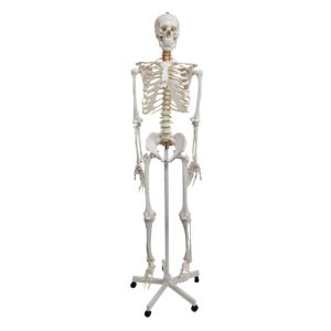 Human Skeleton Natural Size