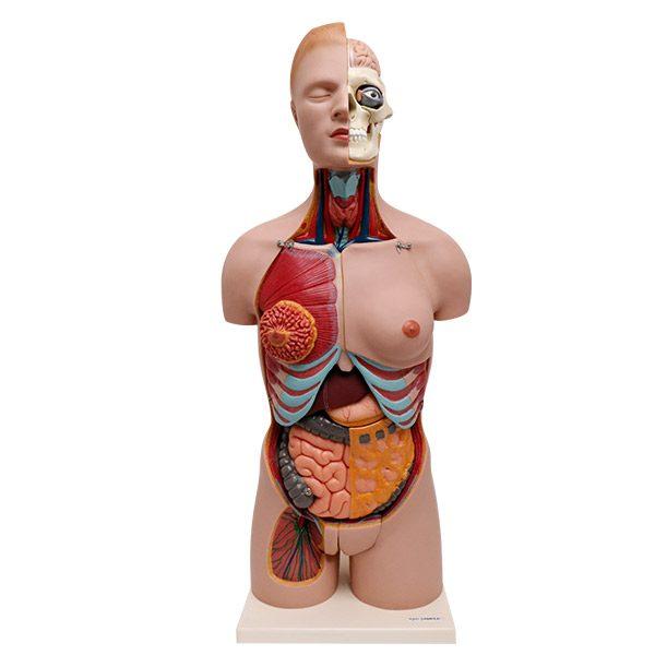 Human Torso Model Natural Size