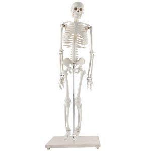 Human Skeleton Tabletop