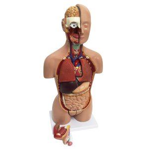 Human Torso Model Tabletop