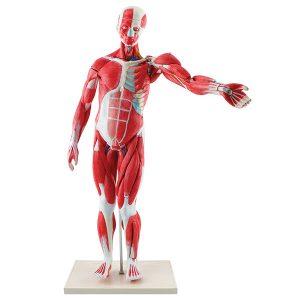 Muscular Figure Tabletop
