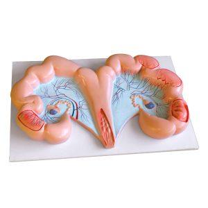 Pig Uterus