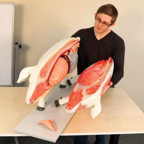 Pig Model Student