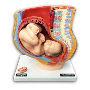Pregnancy Torso