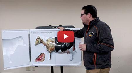 3D Flip Chart Bovine